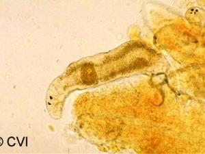 Les parasites du koi